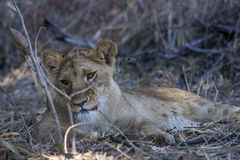 Lion cubs. Cute lion cubs in Africa Royalty Free Stock Photography