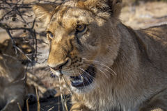 Lion cubs. Cute lion cubs in Africa Stock Photography