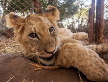 Lion cubs Royalty Free Stock Photo