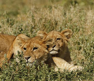 Lion Cubs de Serengeti Photographie stock libre de droits
