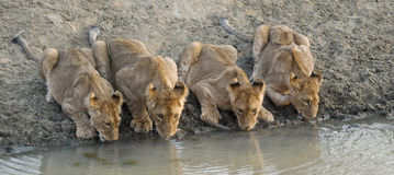 Lion cubs drinking water. 4 lion cubs drinking in a row Royalty Free Stock Photography