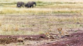 Lion Cubs With Elephants in Background. Two baby lion cubs in one corner and a herd of elephants in back corner and room for text in the middle Stock Images