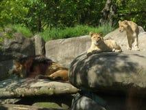 Lion Cubs en Mannelijke Leeuw Royalty-vrije Stock Afbeeldingen
