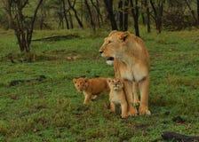 Lion With Cubs femenino Fotos de archivo