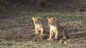 Lion Cubs. Footage of lion cubs in Kenya stock video footage