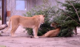 Lion cubs. Fought in Christmas trees Stock Images