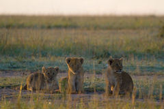 Lion cubs in golden grass Stock Photos