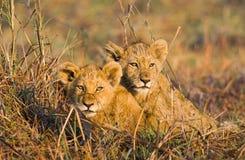 Lion cubs in the grass. Okavango Delta. Stock Image