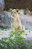 Lion Cubs hermoso Imagen de archivo