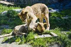Lion Cubs juguetón imagen de archivo libre de regalías