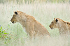 Lion cubs in the Kalahari Royalty Free Stock Images