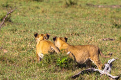 Lion cubs learn. Kenya. Africa Royalty Free Stock Photos
