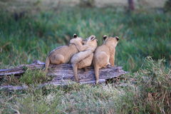 Lion cubs on a log Royalty Free Stock Image