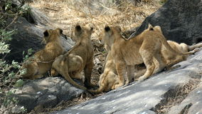 Lion cubs looking up. A rock Stock Images