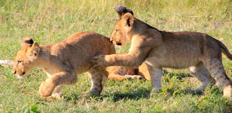Lion Cubs luttant Image stock