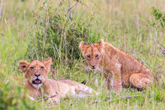 Lion Cubs lying down in the grass Royalty Free Stock Images