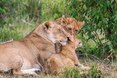 Lion with cubs Royalty Free Stock Photo