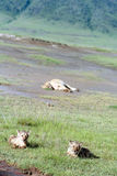 Lion cubs lying in  grass national park Ngorongoro Stock Photos