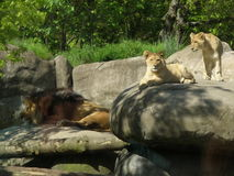 Lion Cubs and Male Lion Royalty Free Stock Images