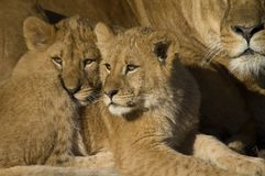 Lion cubs with mom. Lion cubs cuttling up against mom Royalty Free Stock Image