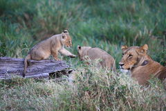 Lion cubs by mum Stock Image
