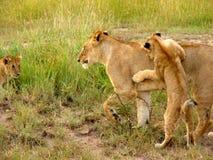 Lion Cubs och lejoninna på lek Royaltyfri Fotografi