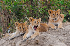 Lion cubs in Ol Kinyei, Masai Mara Royalty Free Stock Images