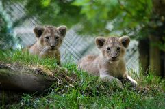 Lion cubs from Paignton Zoo. stock photography