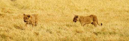 Lion Cubs. Panoramic view of two lion cubs on the African plains Stock Image