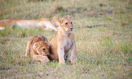 Lion cubs (panthera leo) close-up Stock Image