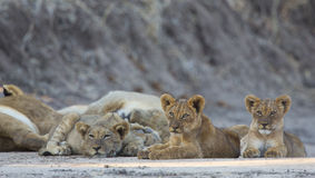 Lion cubs. (Panthera leo) looking at camera Royalty Free Stock Photo