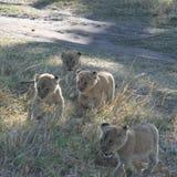 Lion Cubs Panthera Leo Simba i Swahilispråk royaltyfri fotografi