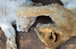 Lion Cubs pequeno Fotos de Stock
