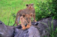 Lion Cubs pequeno foto de stock royalty free