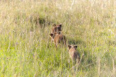 Lion cubs on the plains Kenya Royalty Free Stock Photo
