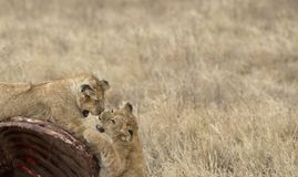 Lion cubs, play fighting on carcass of wildebeest Stock Image