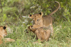 Lion cubs at play. Lion cubs (Panthera leo) at play Stock Photography