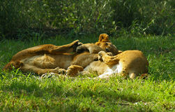 Lion cubs play in South Africa. Two lion cubs play in South African game preserve Royalty Free Stock Photo