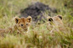 Lion Cubs Playing Fotos de archivo