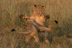 Lion cubs playing Stock Photo