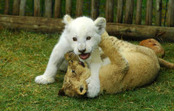 Lion cubs playing Royalty Free Stock Photo