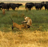 Lion Cubs Playing Photographie stock libre de droits