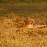 Lion Cubs Playing Imágenes de archivo libres de regalías