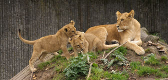 Lion cubs. Playing, while an aunt watching Royalty Free Stock Photography
