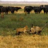Lion Cubs playing Stock Photos
