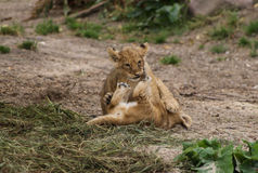 Cute Lion Cubs Playing. Lion cubs playing in the Copenhagen Zoo Stock Photography