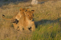 Lion cubs playing. Lion cub chasing one another in Etosha National Park, Namibia Royalty Free Stock Photo