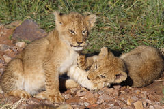 Lion cubs playing in early morning light Royalty Free Stock Image