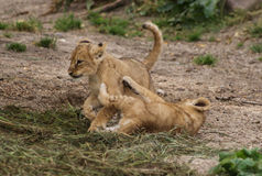 Cubs. Lion cubs playing after a good breakfast in Copenhagen zoo Royalty Free Stock Photography