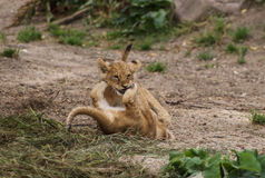 Lion Cubs. Playing after a good breakfast in Copenhagen zoo stock image